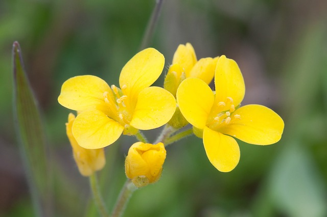 Yellow Mustard Flowers - Photo Credit: Public Domain via Pixabay